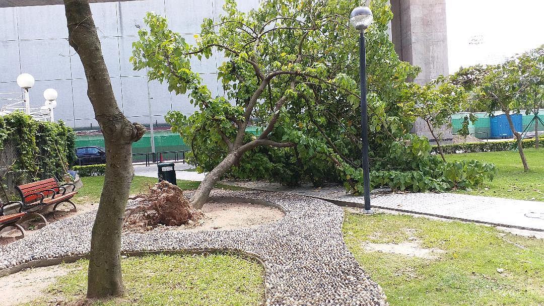 十號風球海高斯掠過後,公園的大樹倒下, 露出短萎的根部